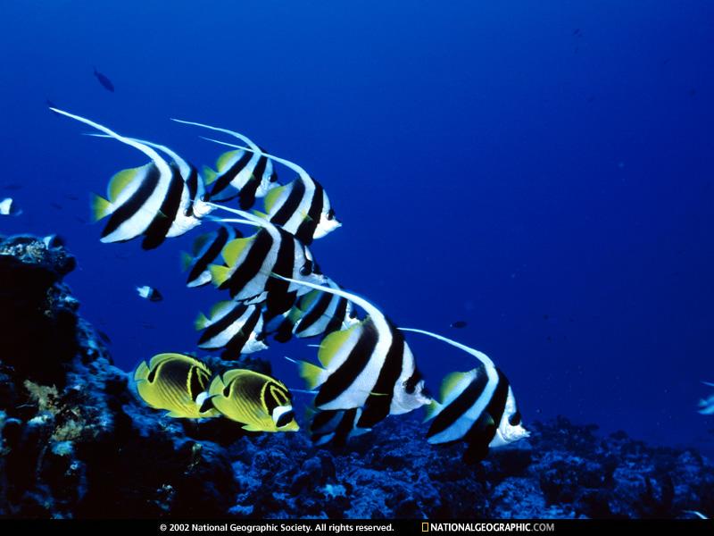 bannerfish-513688-sw