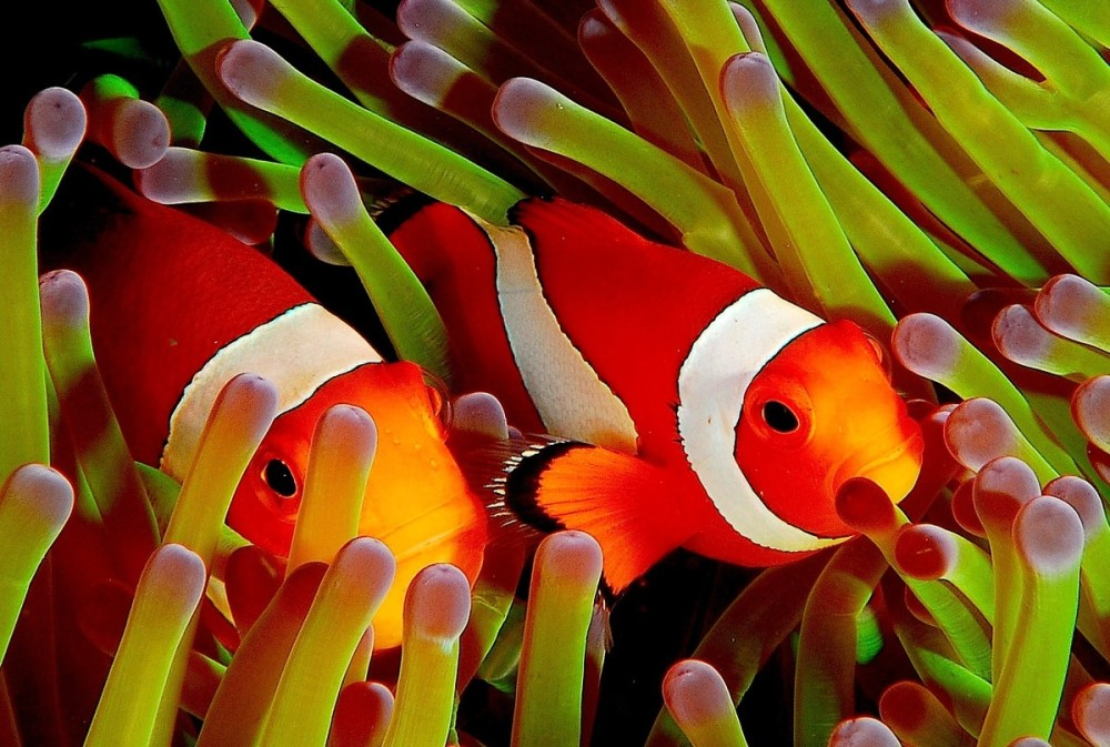 clownfish uae