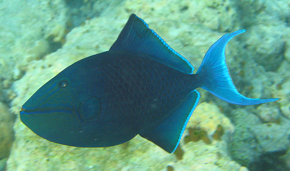 Redtoothed_triggerfish
