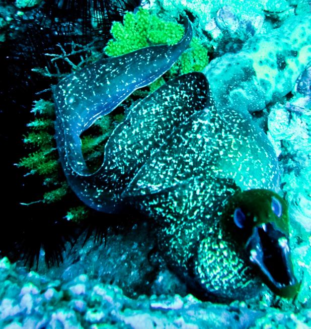 Moray Eel UAE Diving