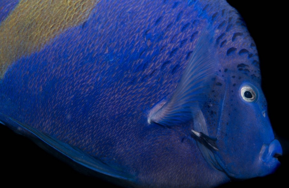 Arabian Angel Fish