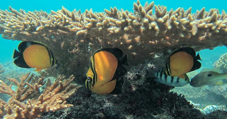 Arabian Butterfly Fish